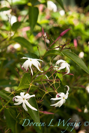 Jasminum nitidum_002