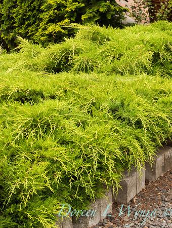Juniperus chinensis Gold_001