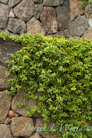 Aptenia cordifolia ground cover blooming and climbing up a lava stacked rock wall