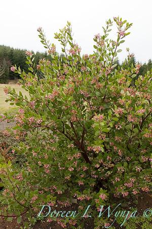 Arctostaphylos x densiflora Austin Griffiths_002