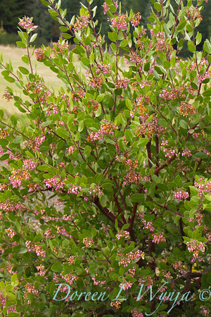 Arctostaphylos x densiflora Austin Griffiths_018