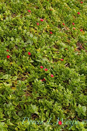 Aptenia cordifolia_009