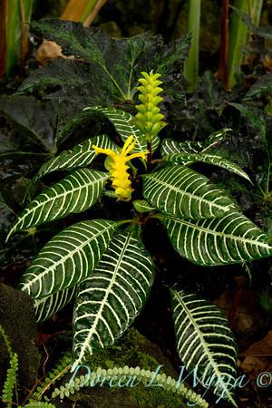Aphelandra squarrosa_002