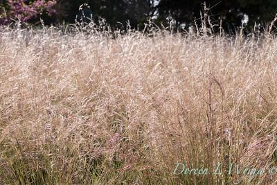 Aristida purpurea 'Chino Hills'_4688