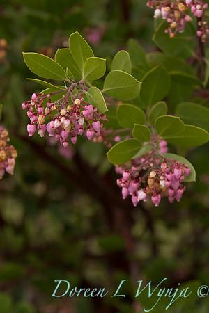 Arctostaphylos x densiflora Austin Griffiths_010