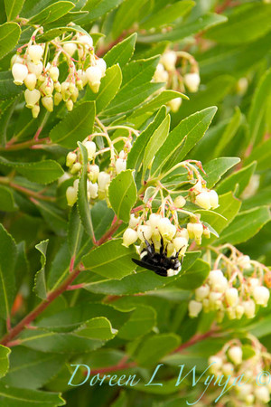 Arbutus unedo, strawberry tree with flowers and a bee on them