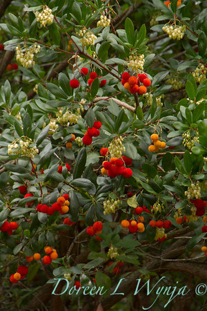 Arbutus unedo, strawberry tree with fruit and flowers on it