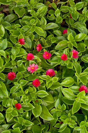 Aptenia cordifolia ground cover blooming