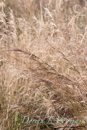 Aristida purpurea 'Chino Hills'_4680