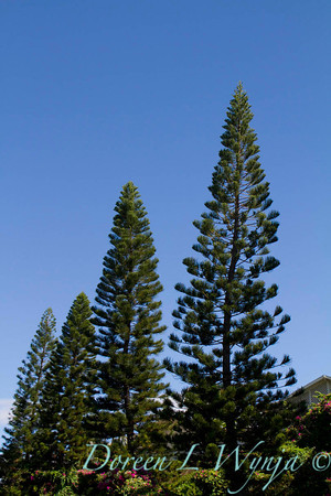 Araucaria columnaris, Cook pines looking up to the sky