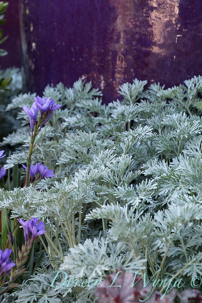 Artemisia x 'Powis Castle' - Babiana stricta_1111
