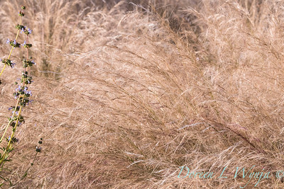 Aristida purpurea 'Chino Hills'_4679
