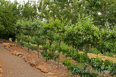 Apples espalier in a rock bordered bed