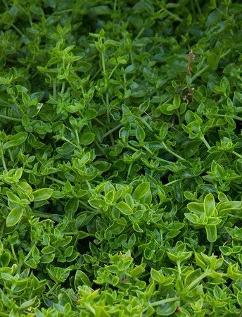 Aptenia cordifolia ground cover