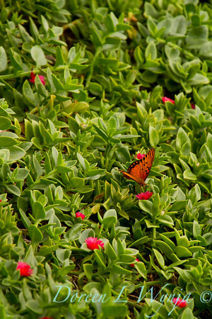 Aptenia cordifolia ground cover blooming with a orange butterfly