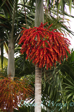 Archontophoenix plams in a tropical landscape, red fruit hanging from them