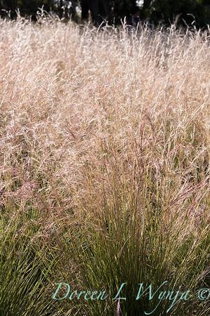Aristida purpurea 'Chino Hills'_4687