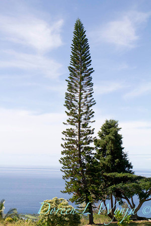Araucaria columnaris, a Cook pine overlooking the ocean in Hawaii