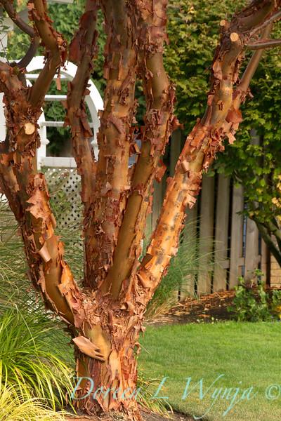 44; Acer; Acer griseum; Paperbark; paperbark maple