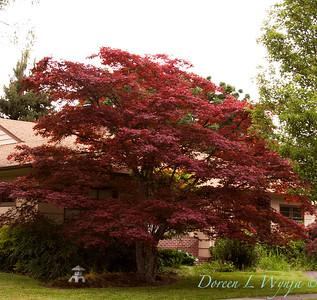 Acer palmatum_red_001M