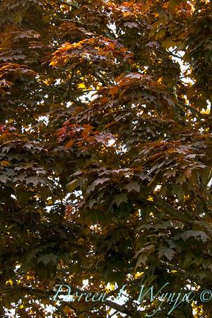 Acer platanoides Crimson King_003