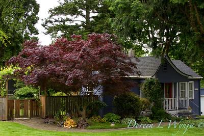 Acer palmatum Bloodgood_041