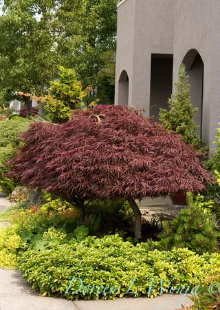 Acer palmatum Crimson Queen_004