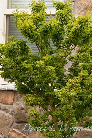 Acer palmatum Shishigashira_041