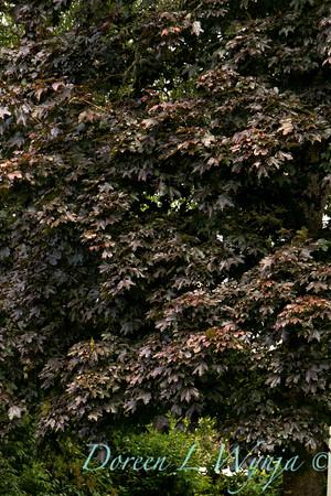 Acer platanoides Crimson Sentry_004