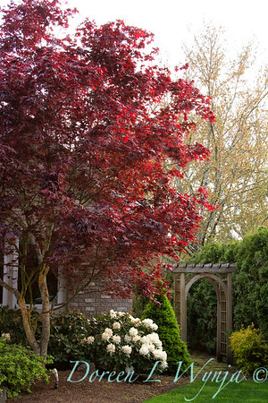 Acer Bloodgood and cream colored Rhododendron next to a wooden garden arbor, along a garden path pathway