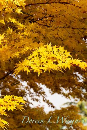 Acer palmatum Sangokaku_068