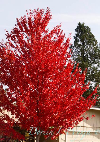 Acer rubrum Autumn Radiance_034_Doreen L Wynja