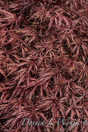 Acer palmatum Crimson Queen_007