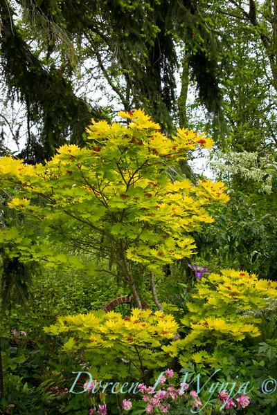 Acer shirasawanum Aureum_002