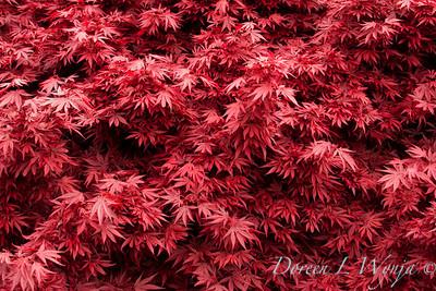 Acer plamatum Shaina_002