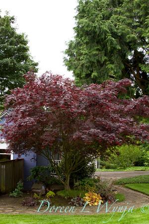 Acer palmatum Bloodgood_047