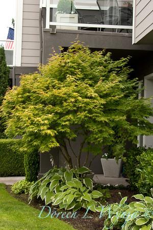 Acer palmatum Sangokaku_024