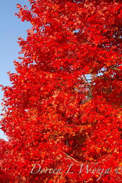 Acer rubrum Autumn Radiance_033_Doreen L Wynja