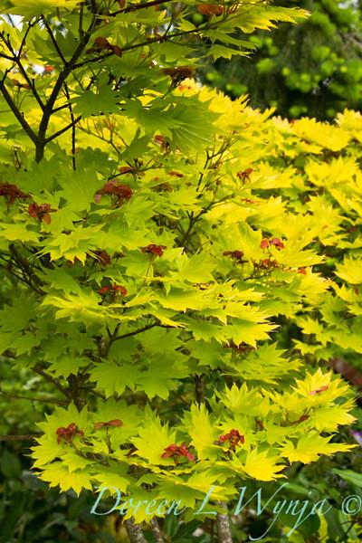 Acer shirasawanum Aureum_005