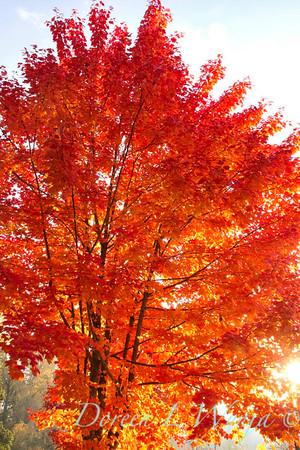 Acer rubrum Autumn Radiance_019_Doreen L Wynja