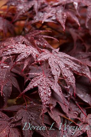 Acer palmatum Red_008M