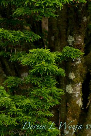 Acer Shishigashira_2602