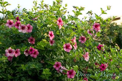 Allamanda cathartica Cherries Jubilee_017