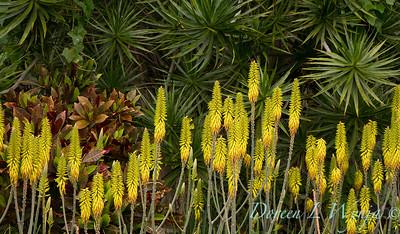 Aloe Barbadensis_1119