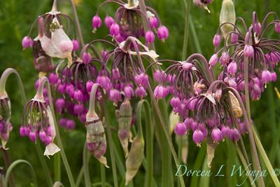 Allium cernuum_013