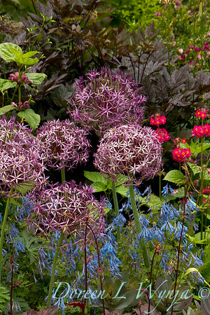 Allium christophii Corydalis flexuosa hybrid_016