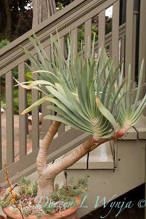 Aloe plicatilis_1766
