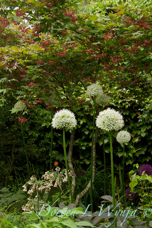 Allium stipitatum Mount Everest_001