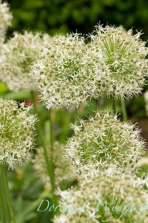 Allium stipitatum 'Mount Everest'_2975
