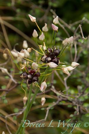 Allium seed pods_3505